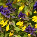 Иван-да-марья - растение полупаразит
