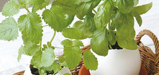 Мелисса - выращивание и уход