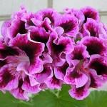 Домашняя герань - пеларгония - выращивание уход размножение