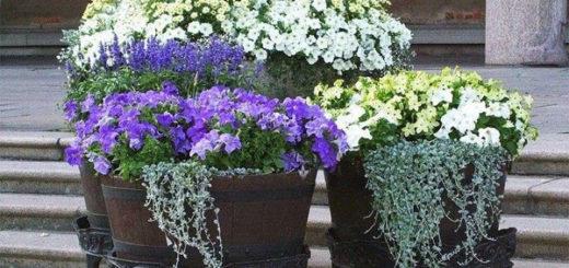 Растения в контейнерах в нашем саду