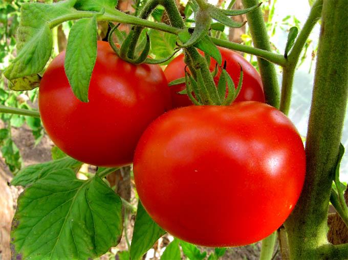 Медь для томатов