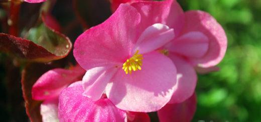 Бегония - выращивание и уход в домашних условиях и в саду