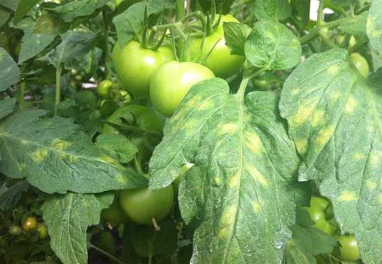 Пятнистость бурая (кладоспориоз) на томатах
