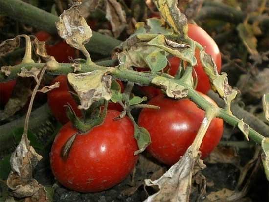 Гниль сухая (макроспориоз) томатов