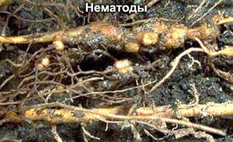 поврежденые корни растения галловой нематодой