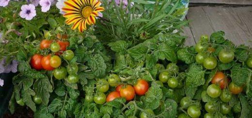 Соседи для томатов