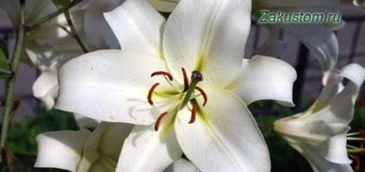 Цветок белой лилии