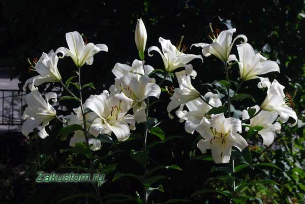 Выращивание белых лилий