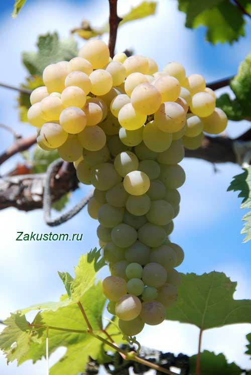 Спелая гроздь винограда