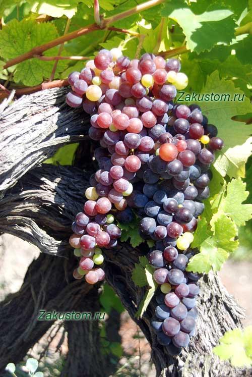 Спелая гроздь красного винограда
