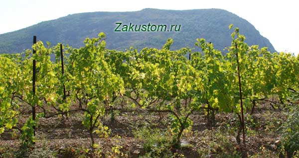Виноградник в Крыму