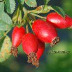 Плоды крымского шиповника