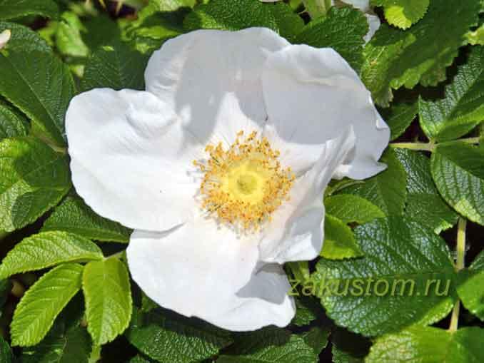 Белый цветок шиповника на кусте