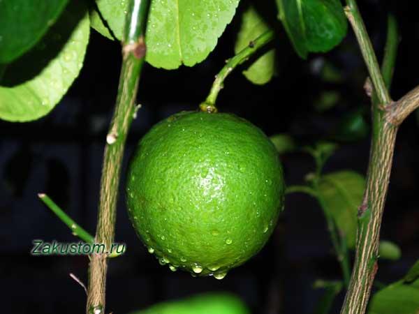 Как заработать на выращивании цитрусовых