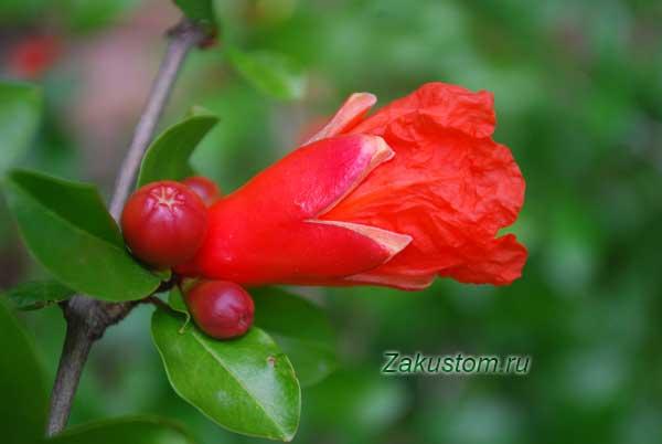 Гранат цветет