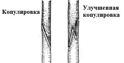 Копулировка цитрусовых