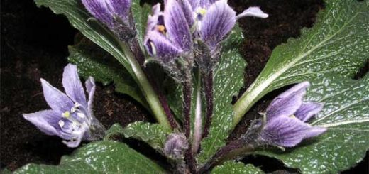 Мандрагора лекарственная - опасное магическое растений