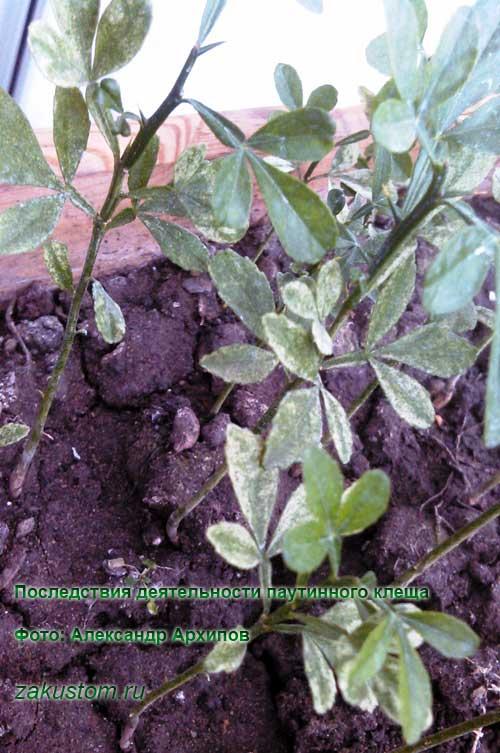 Как бороться с паутинными клещами в открытом грунте и на комнатных растениях