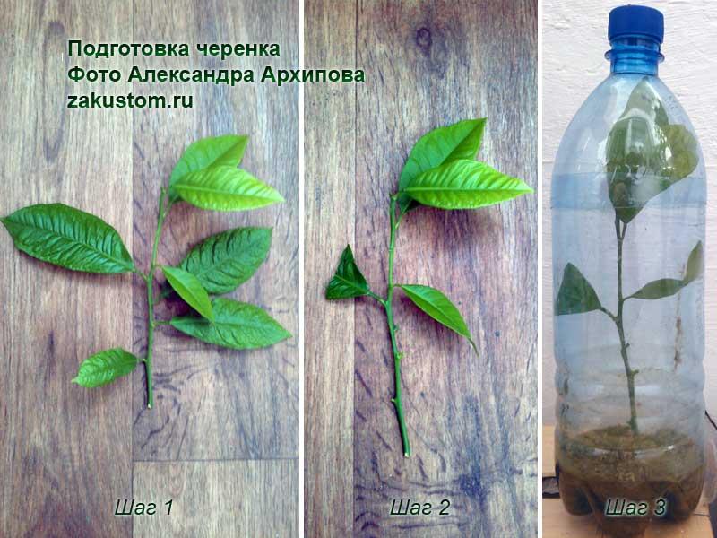 Подготовка черенка цитрусовых