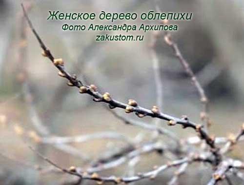 Женское дерево облепихи