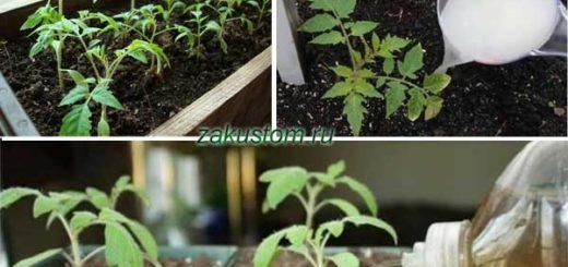 Подкормка рассада томатов