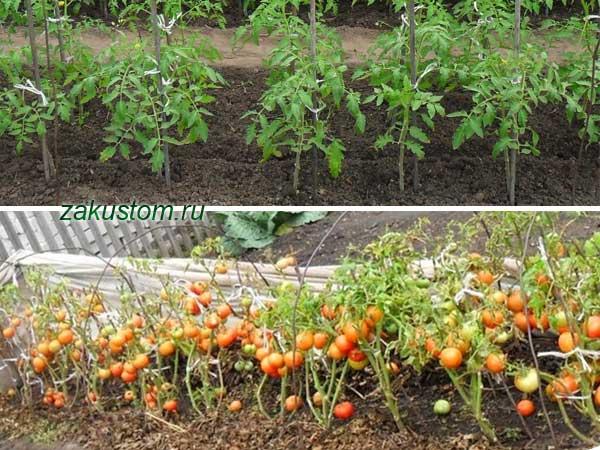 Грядки с томатами
