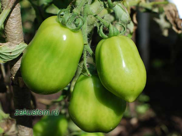 Зеленые томаты растут на кусте