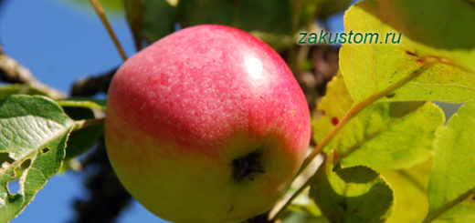 Спелое яблоко на яблоне