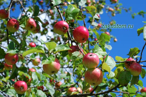 Красные яблоки на яблоне