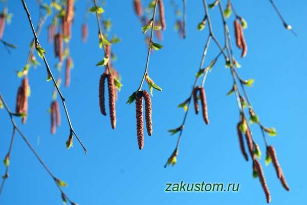 Сережки на березе весной