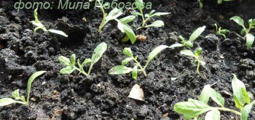 Посев семян томатов на рассаду