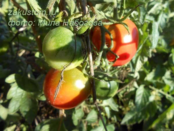 Выращивание кустов томатов на огороде