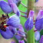 Пчела на люпине