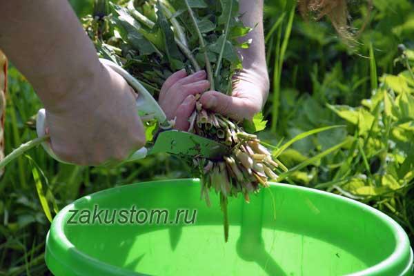 Готовим настой из одуванчиков для растений