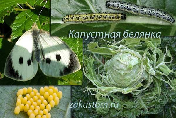 Вредитель капусты - капустная белянка