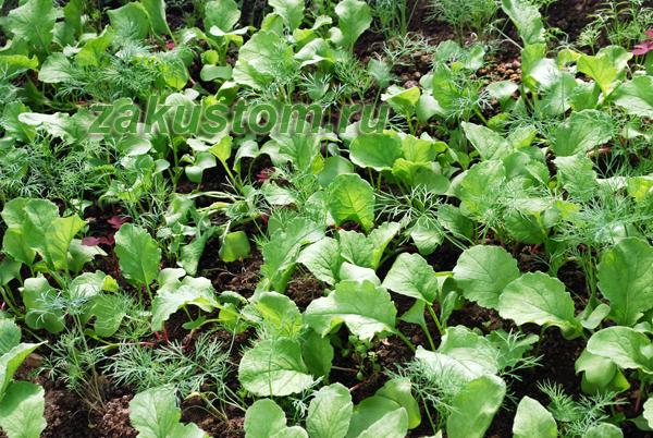 Совместные посадки укропа и овощей на грядке