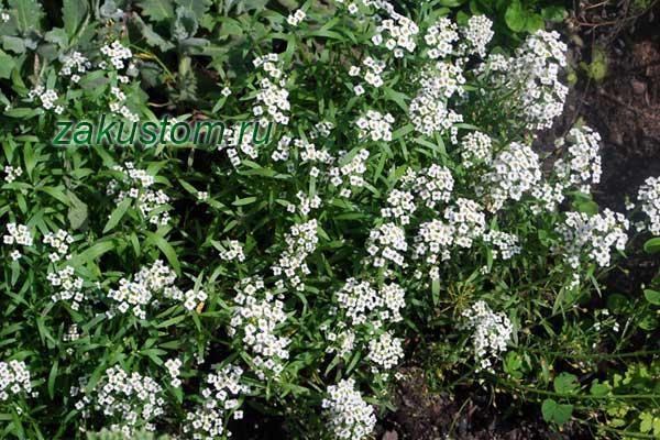 Белый алиссум цветет