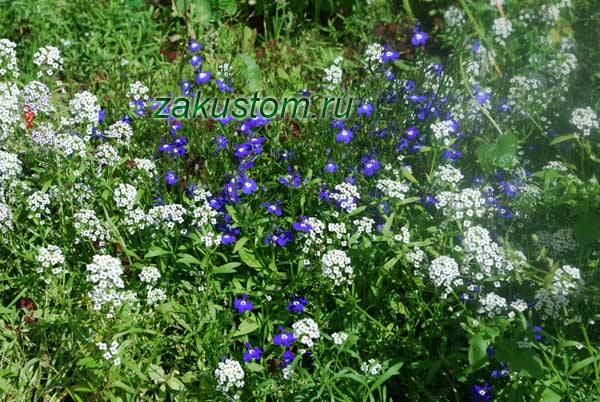 Алиссум на клумбе с цветами