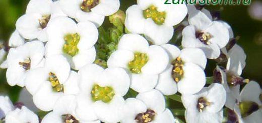 Белые цветы алиссума