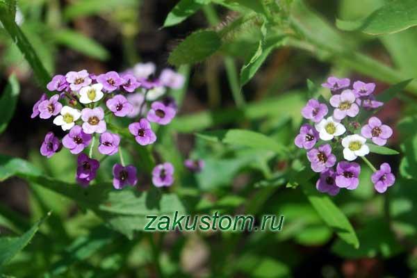 Фиолетовые цветы алиссума