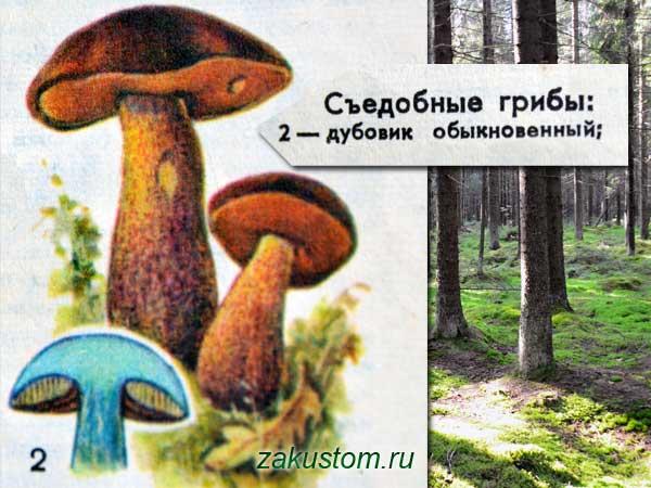 Дубовик - съедобный гриб