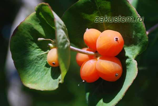 Красивая лиана - жимолость каприфоль