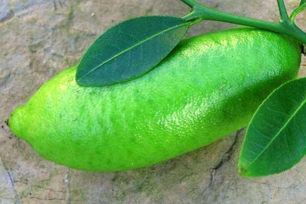 Австралийский пальчиковый лайм - Citrus australasica