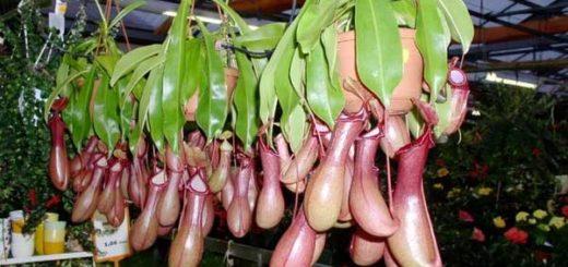 Непентес — хищное комнатное растение
