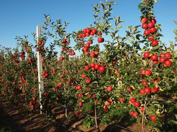 Яблони на карликовых подвоях