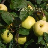 Вкусные яблоки растут на яблоне