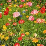 Мавританский, цветочный или луговой газон