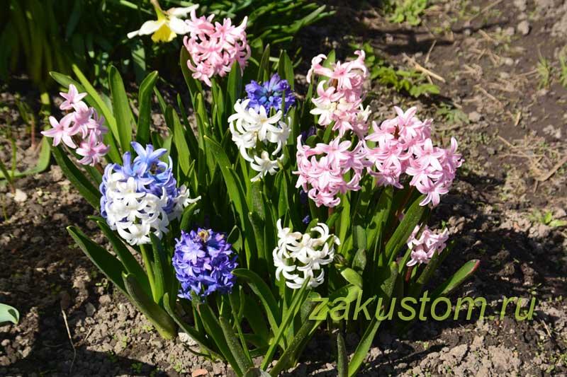 Гиацинты цветут в саду
