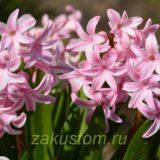 Прекрасные розовые гиацинты