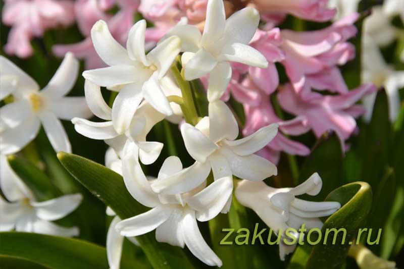 Белые и розовые цветы гиацинтов
